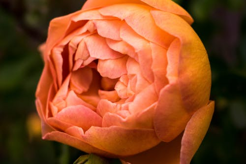 Close Up Photo of Orange Petaled Rose