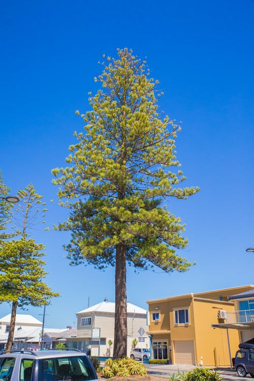 Free stock photo of big tree, blue sky, clear sky