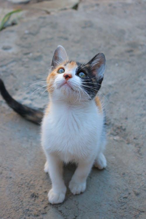 White Orange and Black Cat