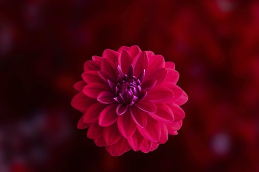 Pink Dahlia Flower in Bloom Close-up Photo