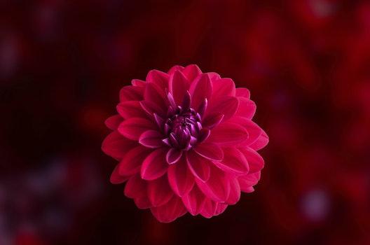 Kostenloses Stock Foto zu natur, blütenblätter, verschwimmen, blume