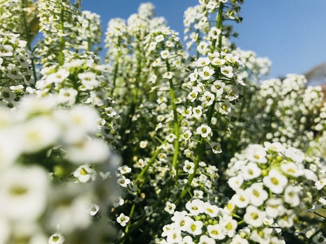 White Verbena Flowers