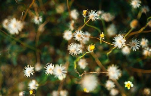 Základová fotografie zdarma na téma bílá, divoké květiny, květiny, příroda