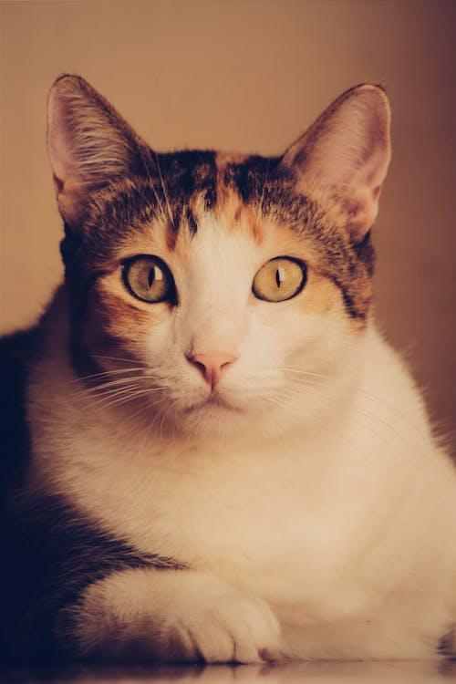 Imagine de stoc gratuită din animal, animal de casă, felină, mâță