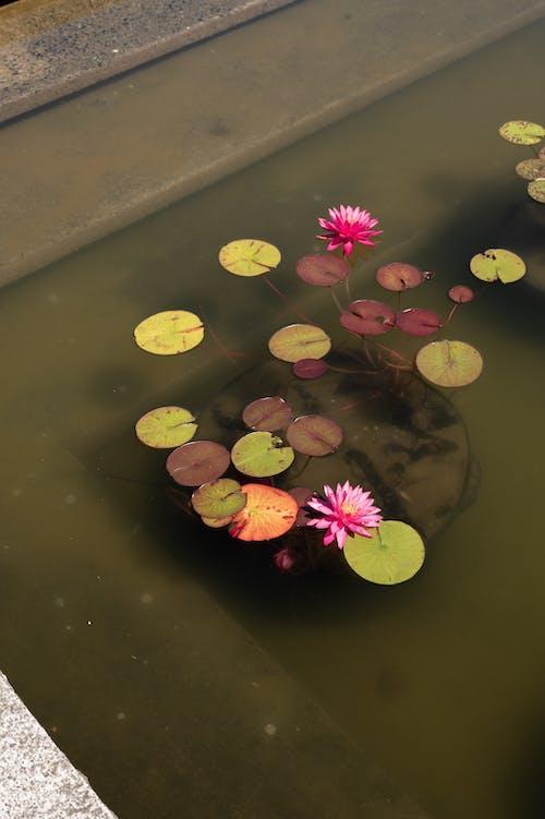 Pink Lotus Flowers In Bloom on Water