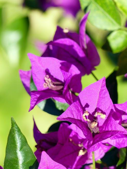 Free stock photo of bougainvilleas, flowers