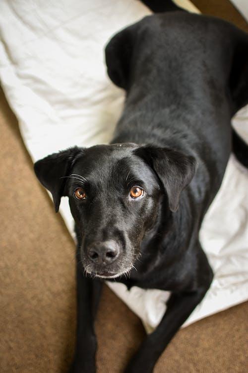 Black Labrador Retriever Lying