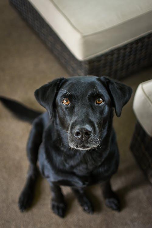 Black Labrador Retriever Sitting on Floor