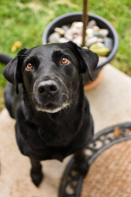 Black Labrador Retriever Sitting