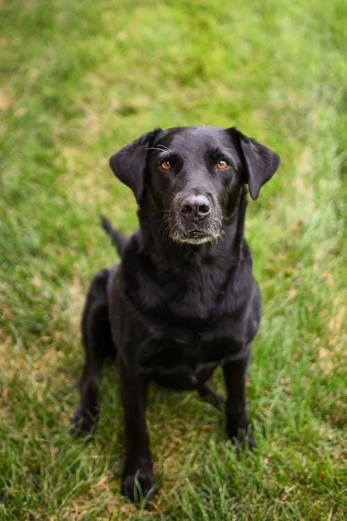 Black Labrador Retriever Sitting on Green Grass