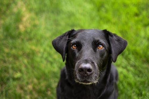 Black Labrador Retriever on Green Grass