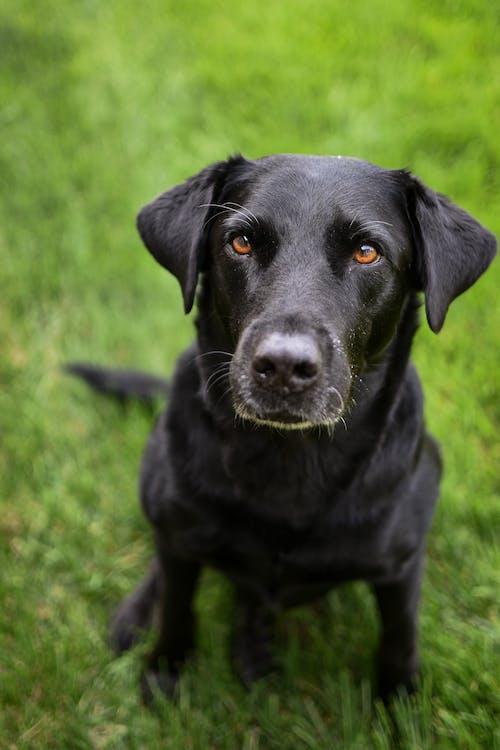 Black Labrador Retriever on Green Grass Field