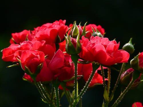 Gratis lagerfoto af blomster, blomsterknopper, close-up, HD-baggrund