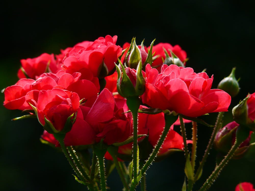 červená, červené ruže, detailný záber