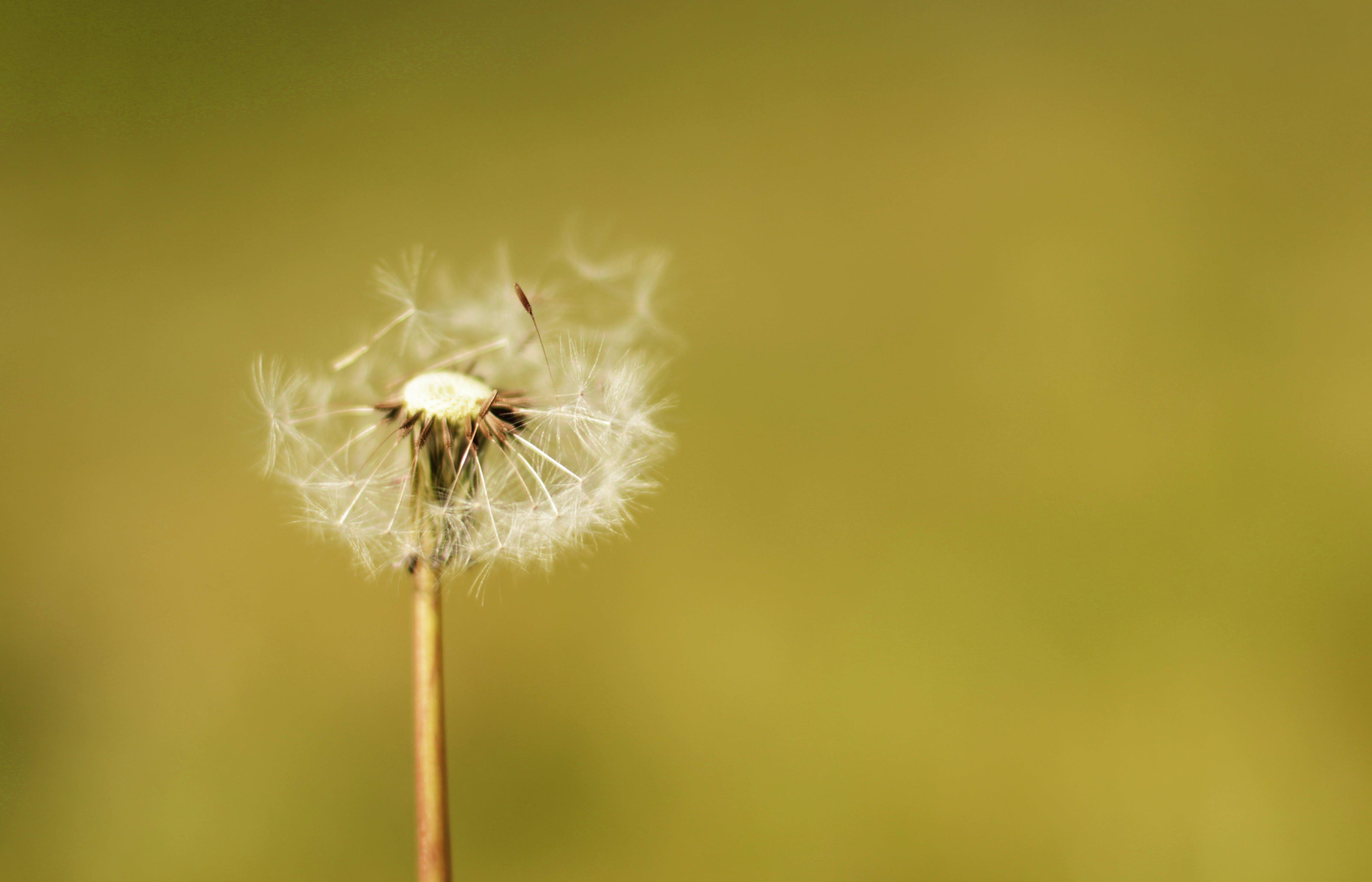 löwenzahn, natur, pflanze