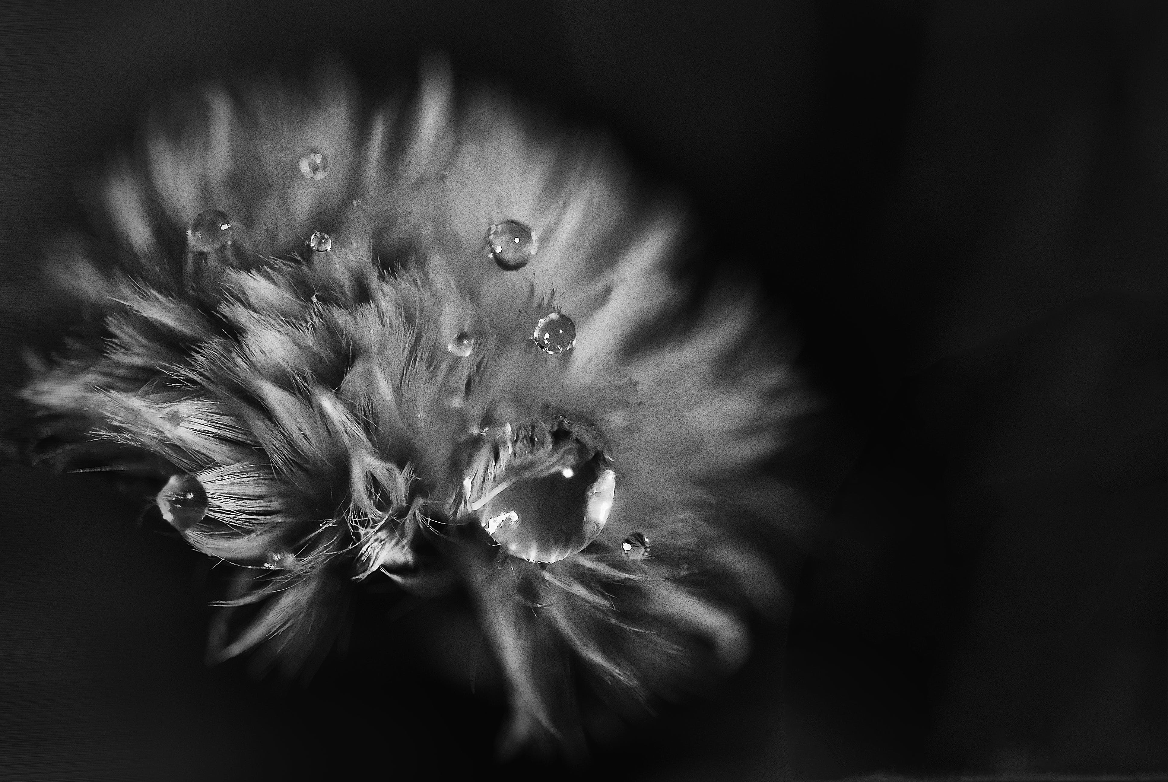 Greyscale Photo of Petaled Flower With Dew Drops