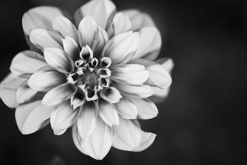 Foto d'estoc gratuïta de blanc i negre, flor, flors boniques