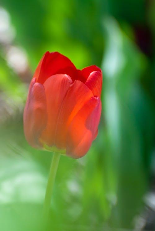 Foto d'estoc gratuïta de flor, tulipa