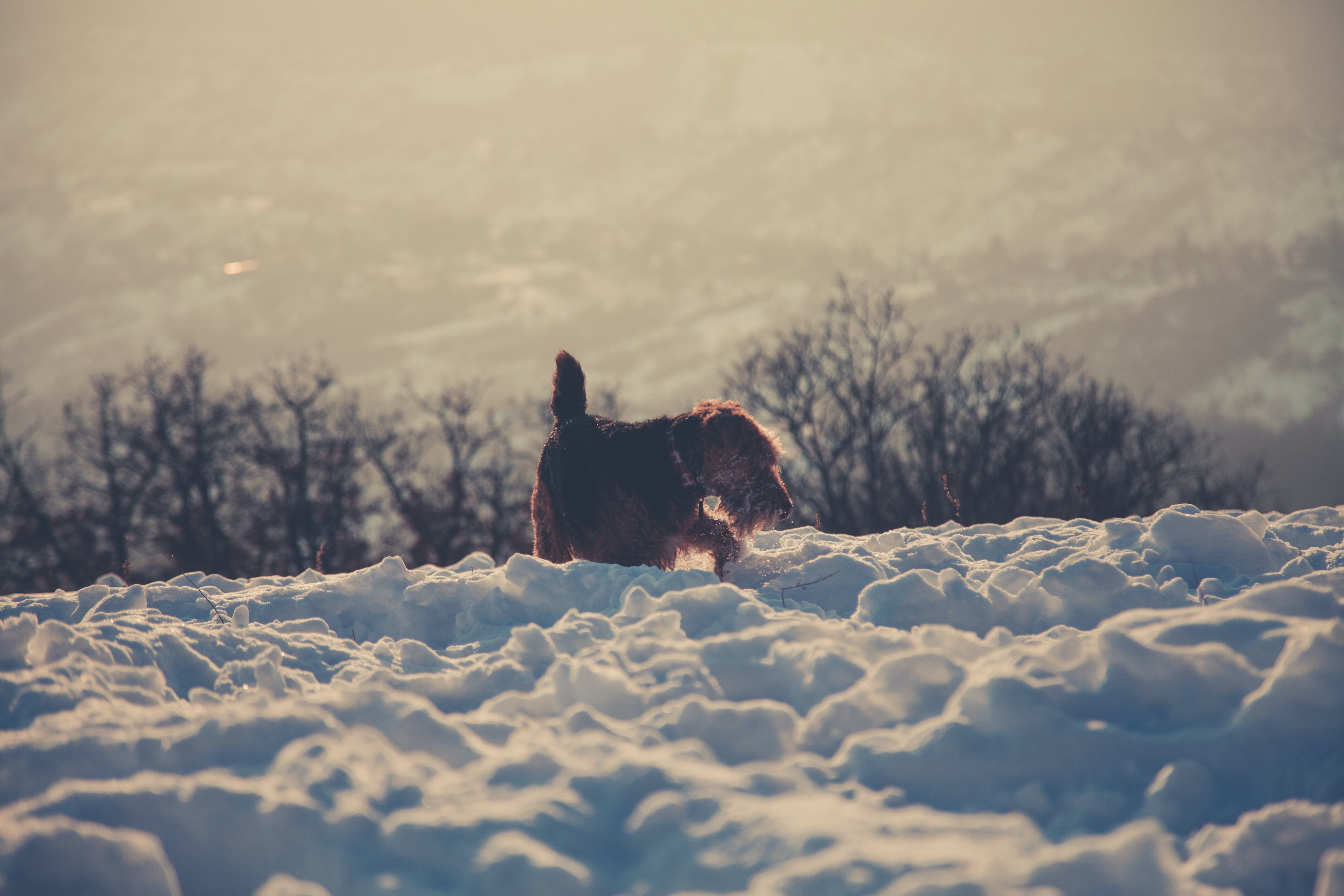 Photography of Long-coated Brown Dog Standing on Snow Covered Floor