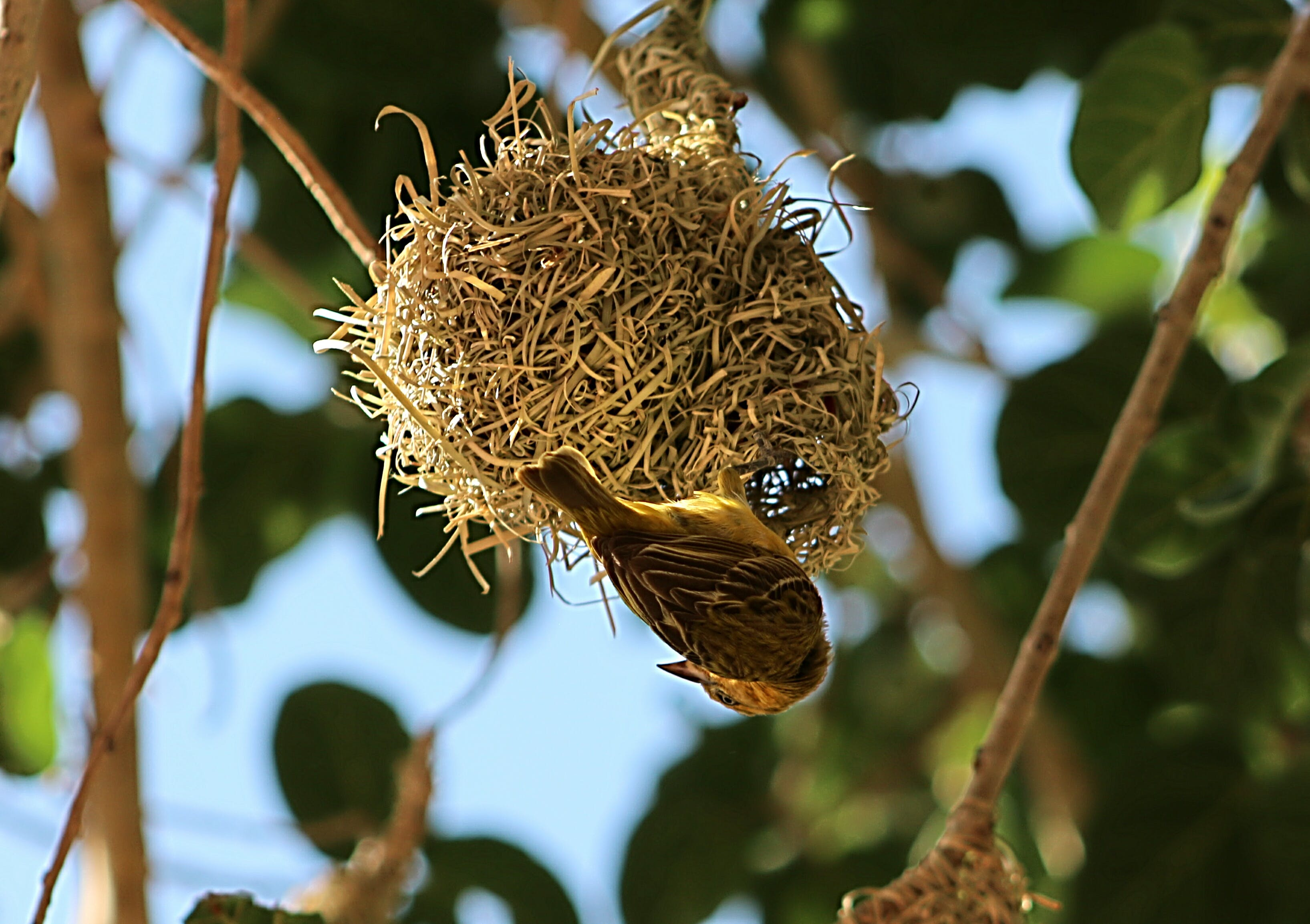 Sparrow Making Nest