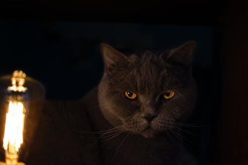 Gratis arkivbilde med bakgrunnsbilde, grå katt, katt