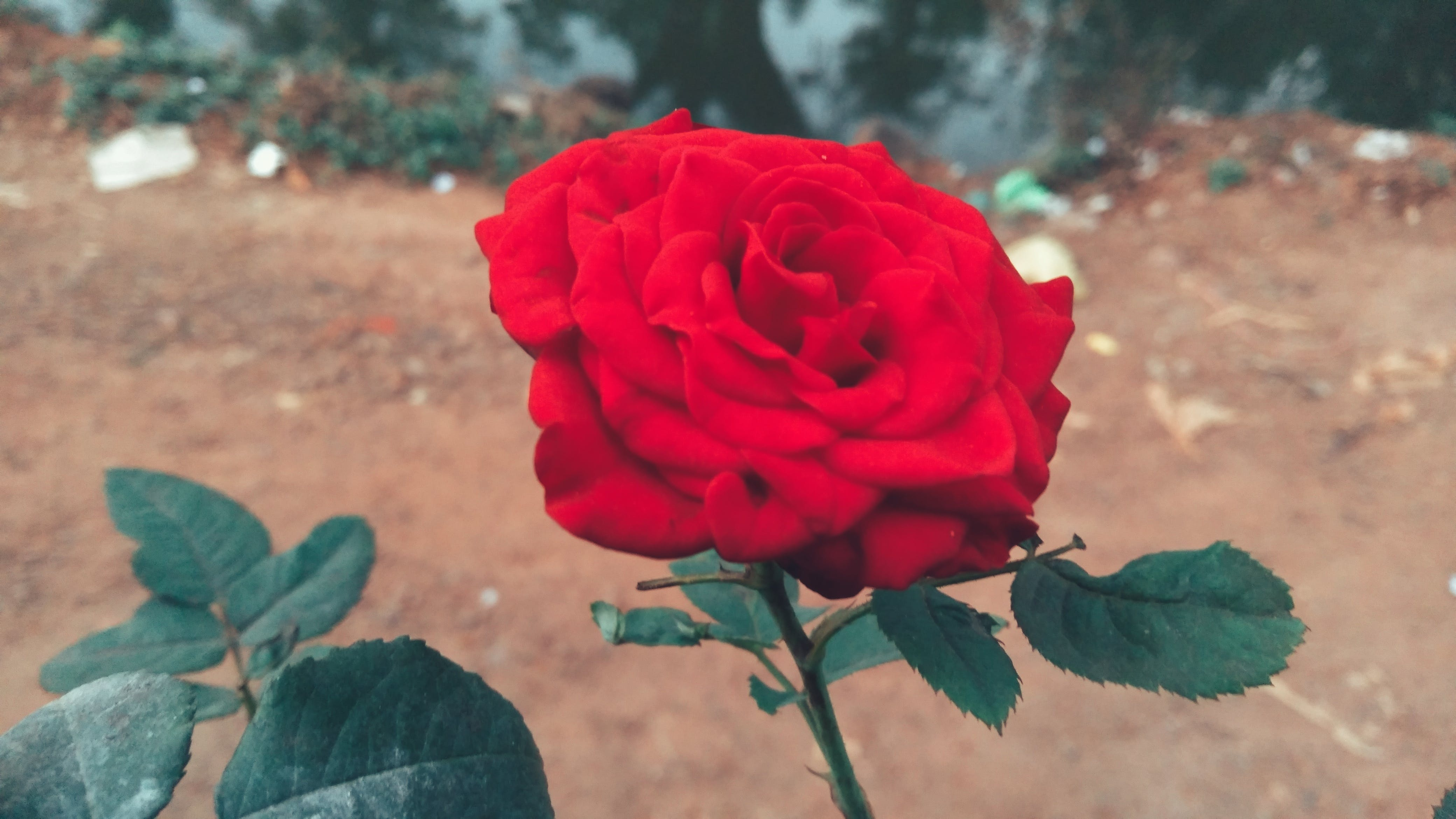 Free stock photo of Red Rose, valentine's day