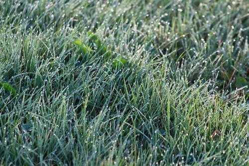 Kostnadsfri bild av dagg, gräs, gräsmatta, grön