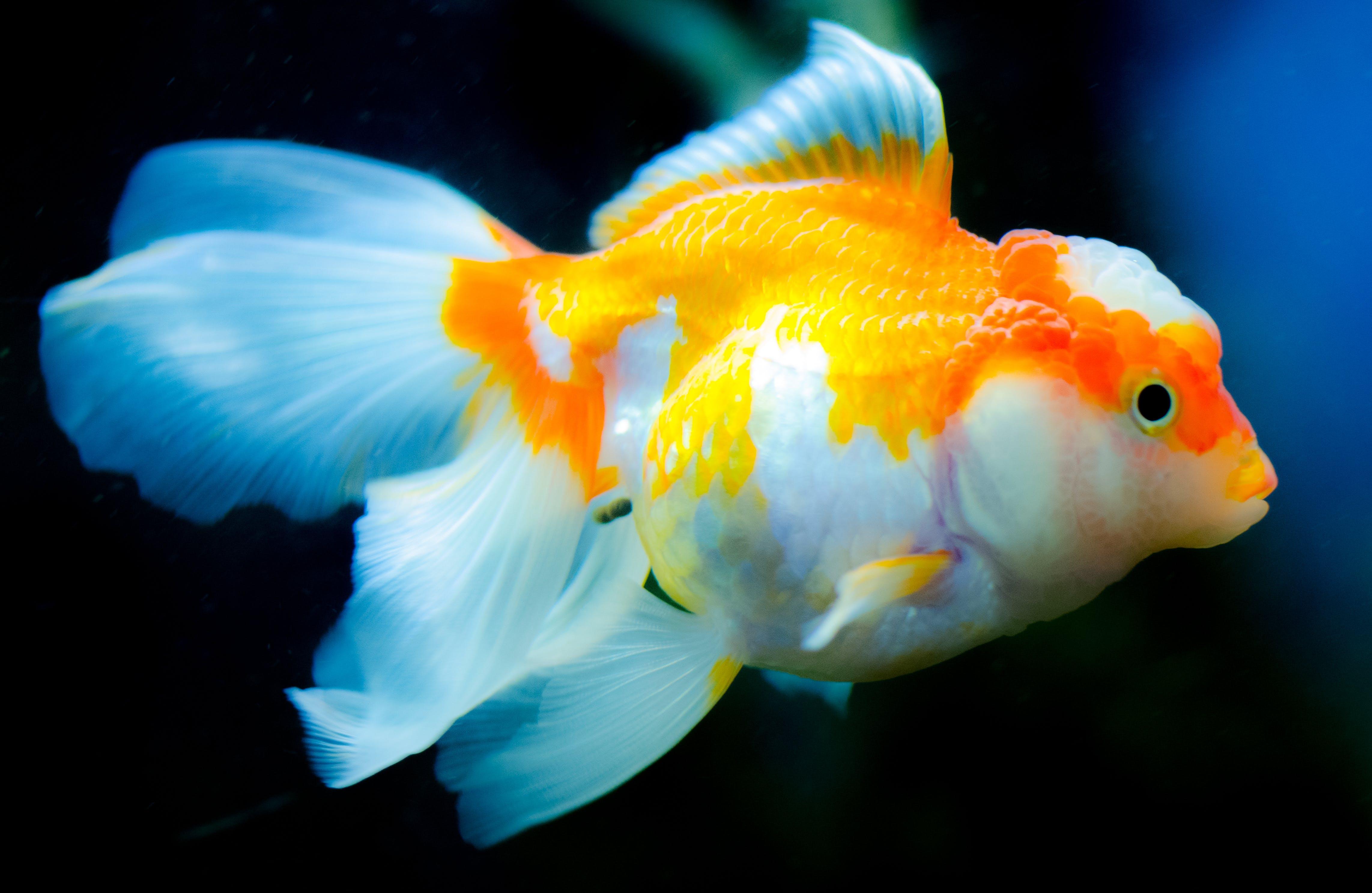 Orange and White Fish