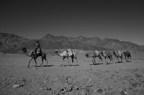 Grayscale Photo of Camels