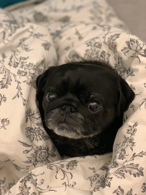 Black Pug on White and Black Floral Blanket