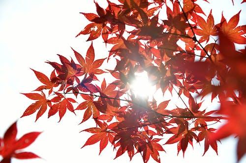 Darmowe zdjęcie z galerii z czerwone liście, drzewo, gałąź