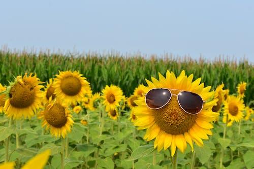 Free stock photo of summer fun, summer mood, sunflower