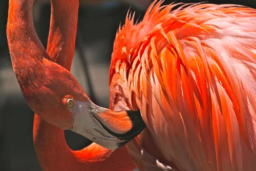 Darmowe zdjęcie z galerii z flaming, fotografia zwierzęcia, zwierzę