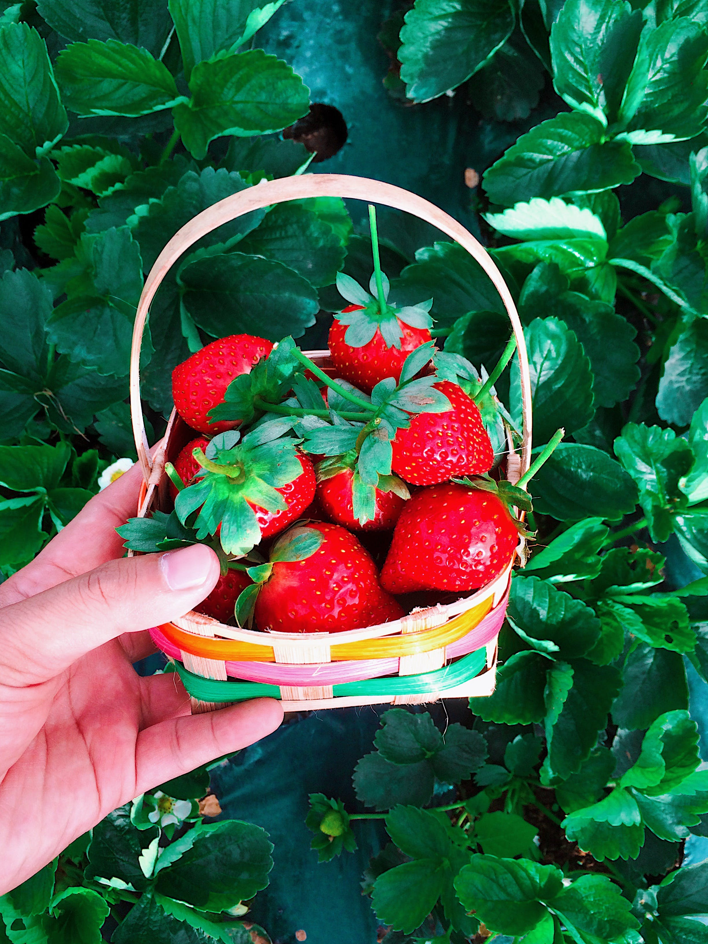 Basket of Red Strawberries