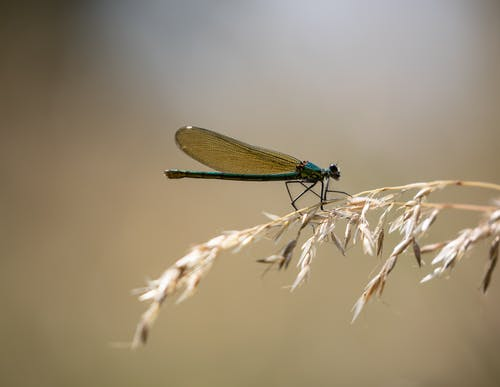 Free stock photo of anisoptera, banded demoiselle, close-up