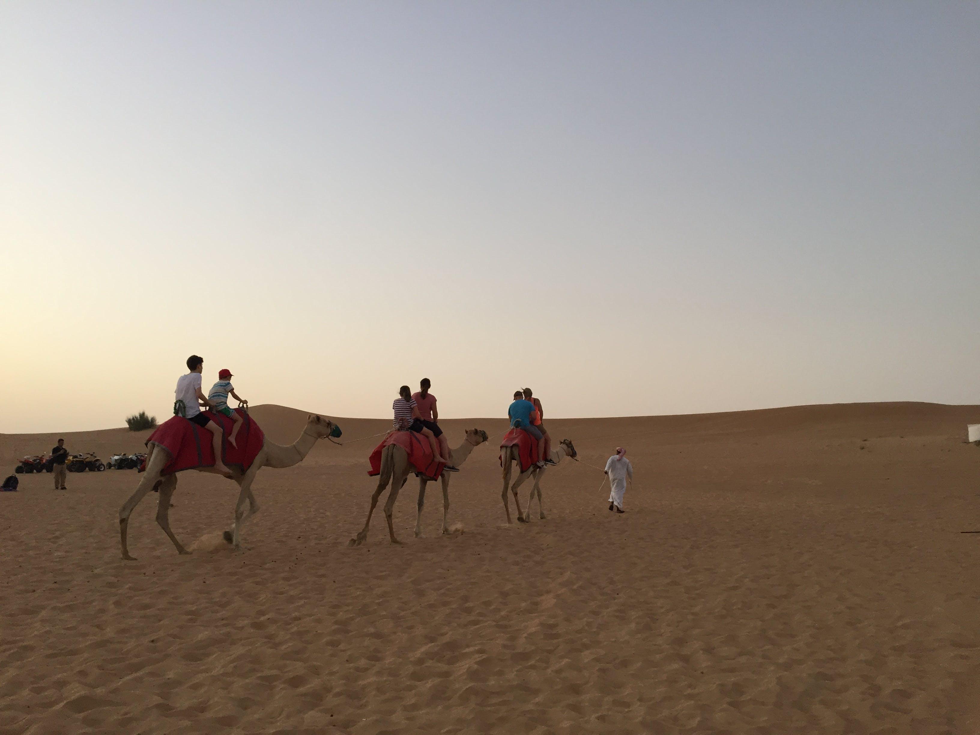 Free stock photo of Arabian camel, camel, desert, safari