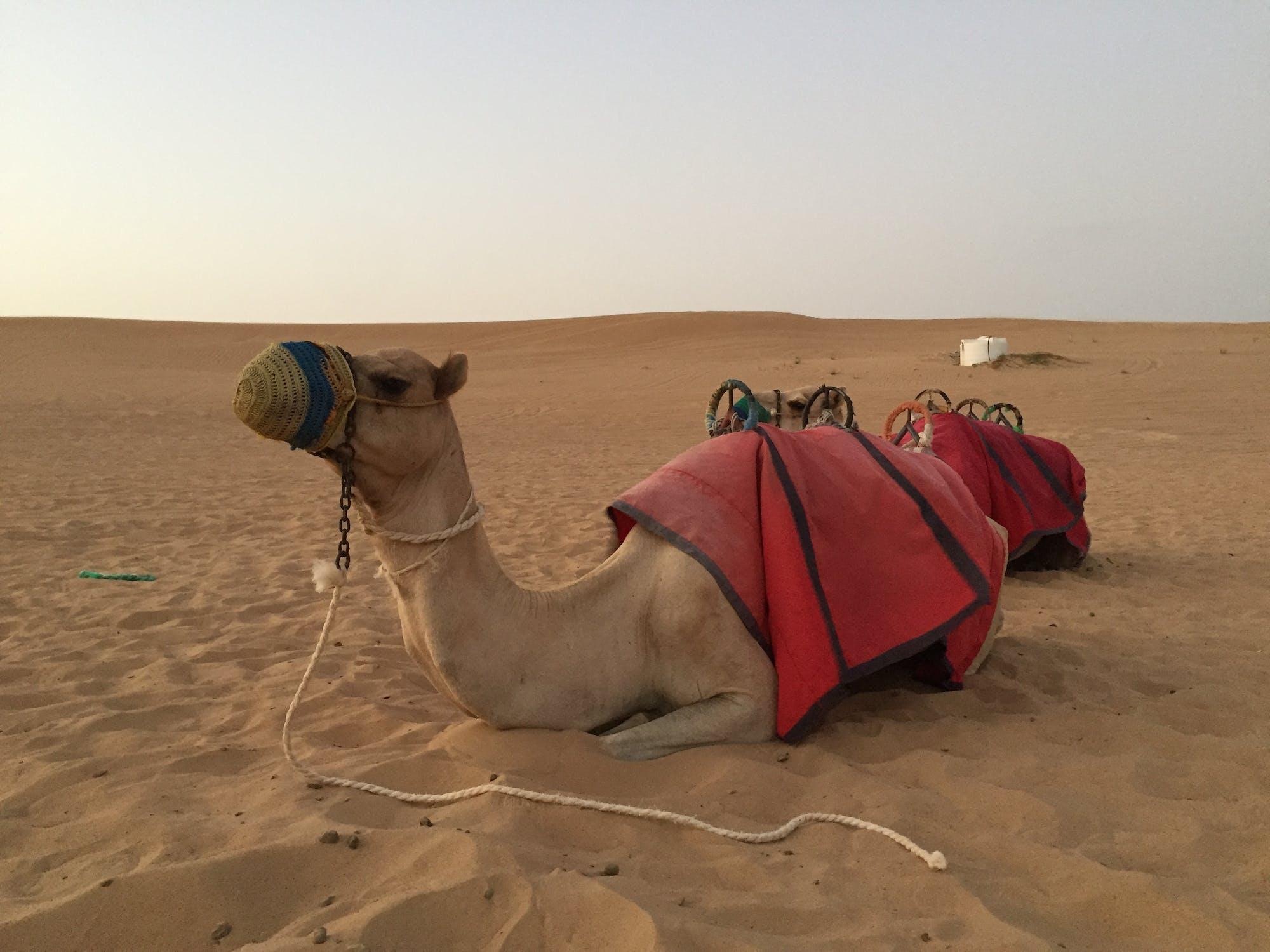 постер пустыня и верблюды и люди устройство для манометра