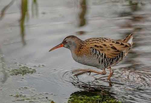 Darmowe zdjęcie z galerii z dzika przyroda, ptak brodzący, upierzenie, woda