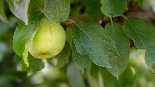 Photos gratuites de agbiopix, apple, pomme