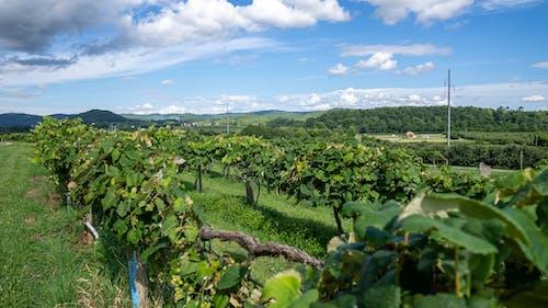 Photos gratuites de agbiopix, vignes, vignoble