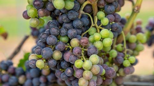 Photos gratuites de agbiopix, raisins sur vigne, vignoble