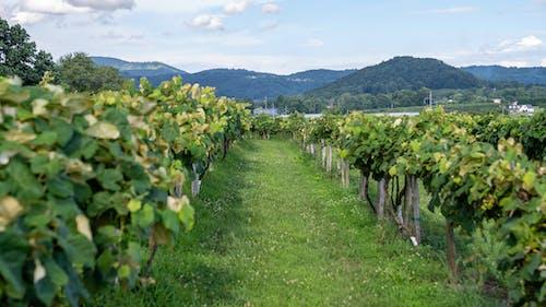 Photos gratuites de agbiopix, vigne, vignoble