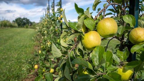 Photos gratuites de agbiopix, pommes, verger de pommiers