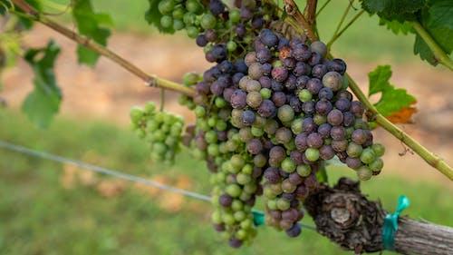 Photos gratuites de agbiopix, raisins, raisins sur vigne
