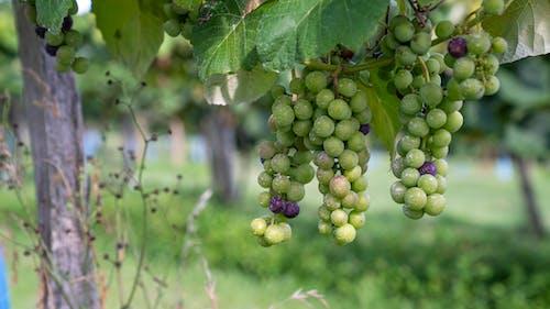 Photos gratuites de agbiopix, raisins, vigne