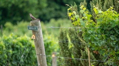 Photos gratuites de agbiopix, oiseau sur le poteau, vignoble