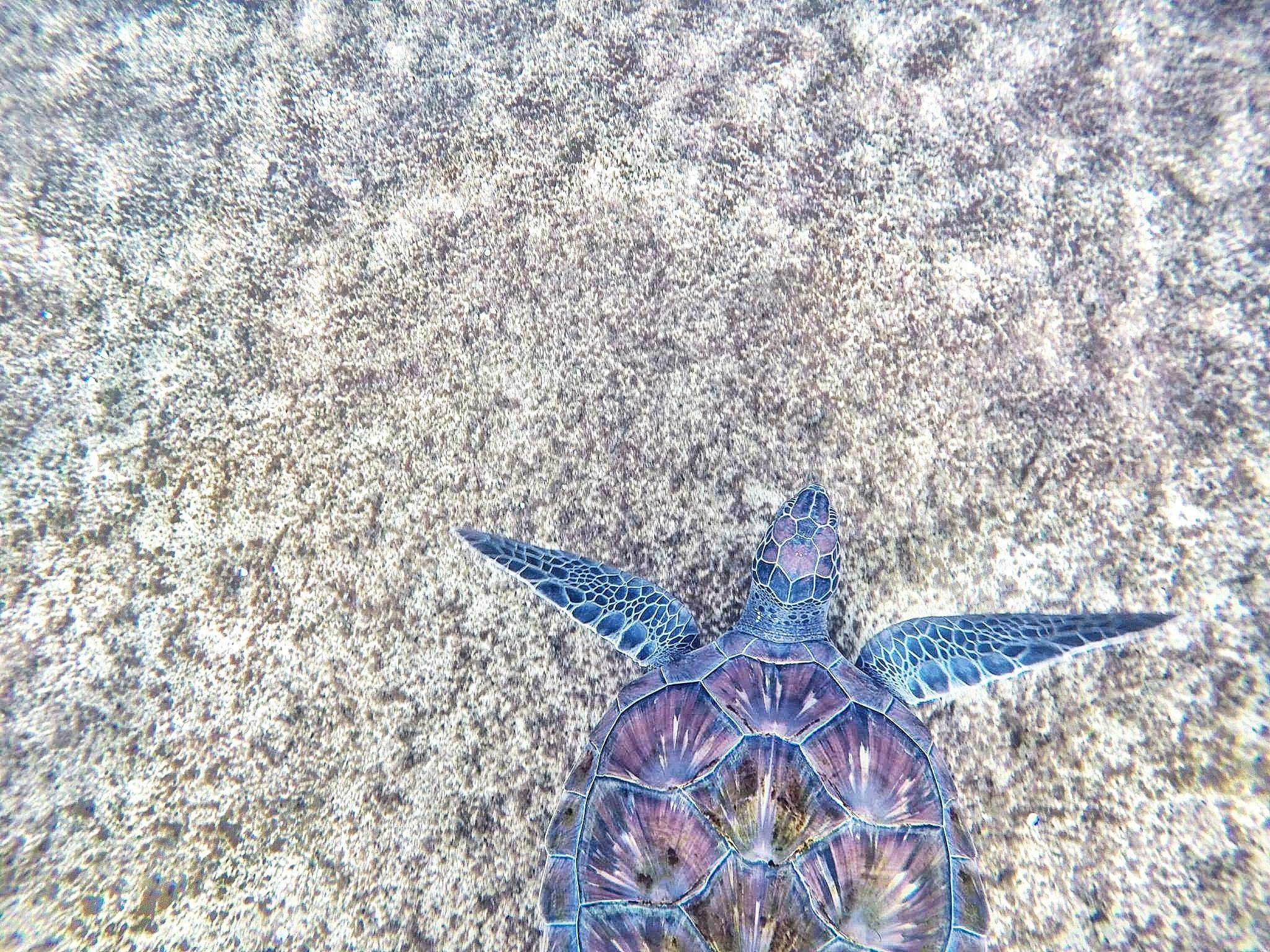 Purple and Blue Sea Turtle