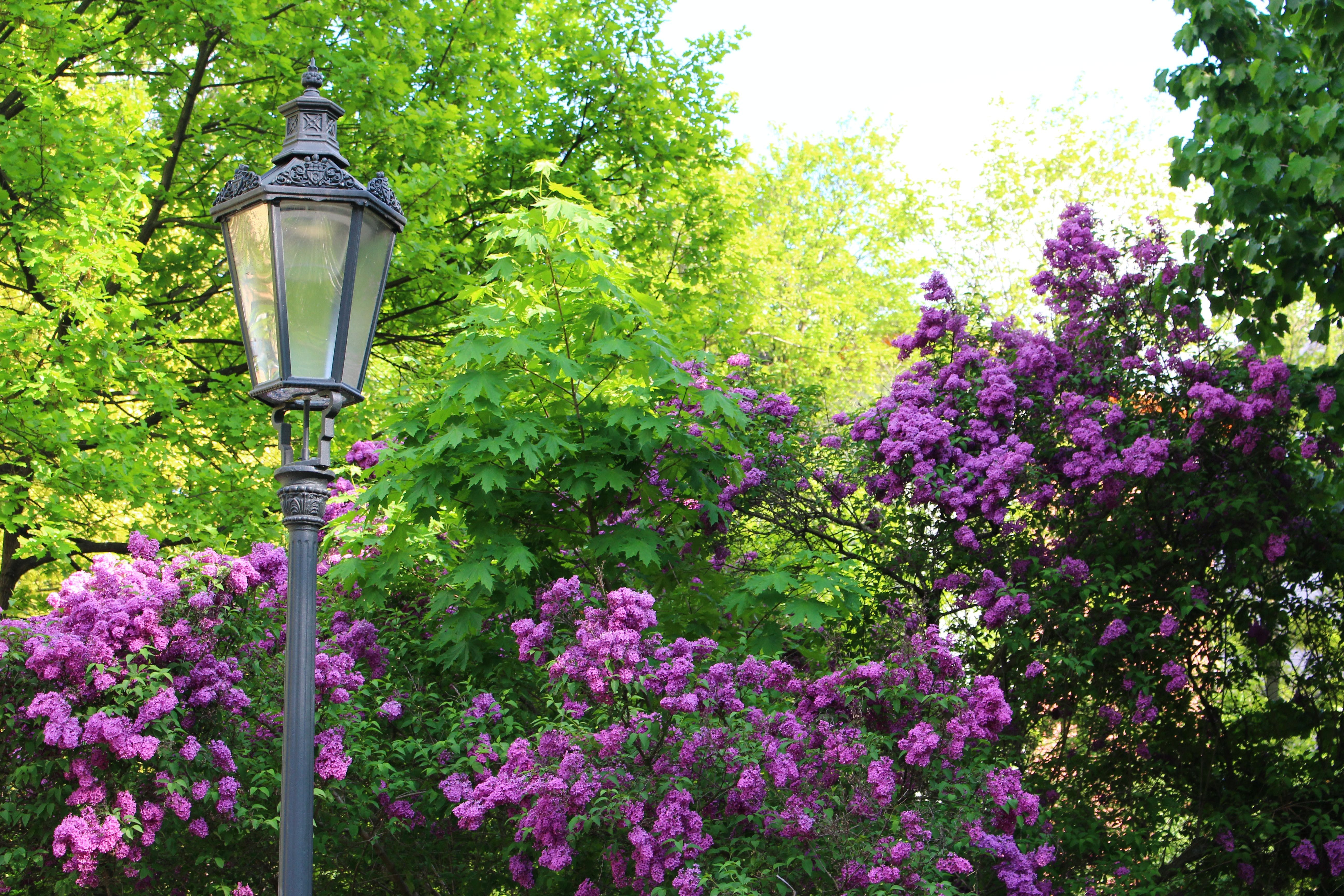 Free stock photo of blossom, bushes, lamp, lamp post