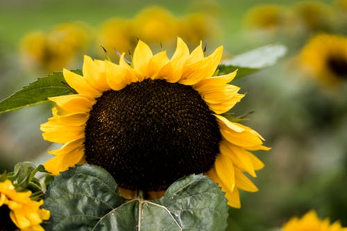 ひまわり, 夏の花, 自然の美しさの無料の写真素材