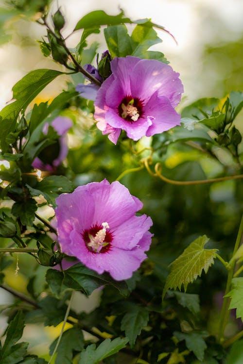 シャロンのバラ, つぼみ, ハイビスカスの無料の写真素材